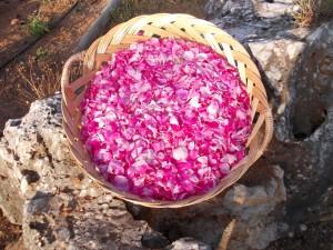 Συλλέγουμε ροδοπέταλα απο τριαντάφυλλα Δαμασκού, και αποστάζοντάς, τα δημιουργούμε το περίφημο Ροδόνερο!